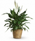 Order Large Peace lily